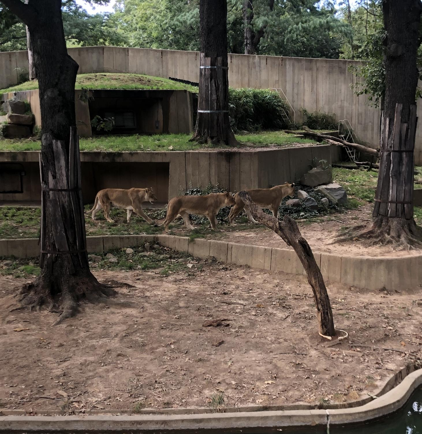 The King of the Jungle, and of the Smithsonian National Zoo, the majestic lion rules everywhere she goes. Despite being so naturally feared, they are still in danger. Lions are preserved in the zoo and actually live longer than when they are left in the wild.
