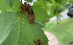 2021 Cicada Craze