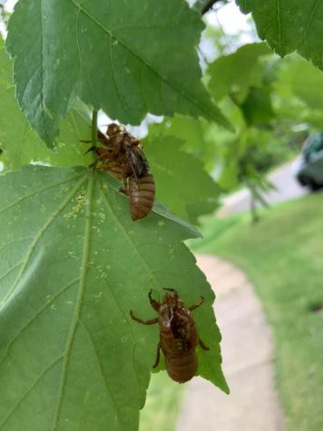 """Cicadas are around every summer, but every 17 years a great amount come. If you listen closely enough, you can hear them, they sound like UFOs coming to Earth. """"I love going out in the morning and listening to them, it's such a cool sound"""" junior Ally Dearing said."""